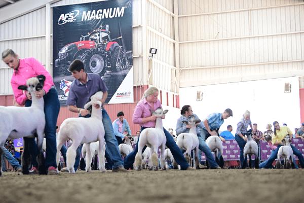Junior Sheep Grand Champion Drive