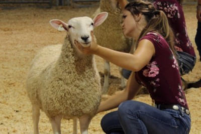 Sheep Breed Montadale