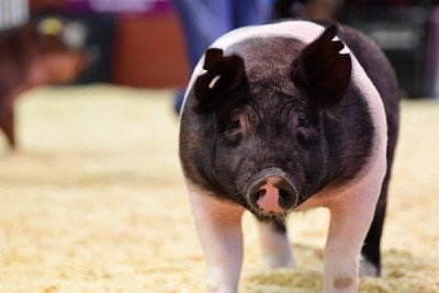 Swine Berkshire Breed