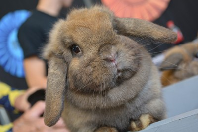 Rabbit Breed Mini Lop